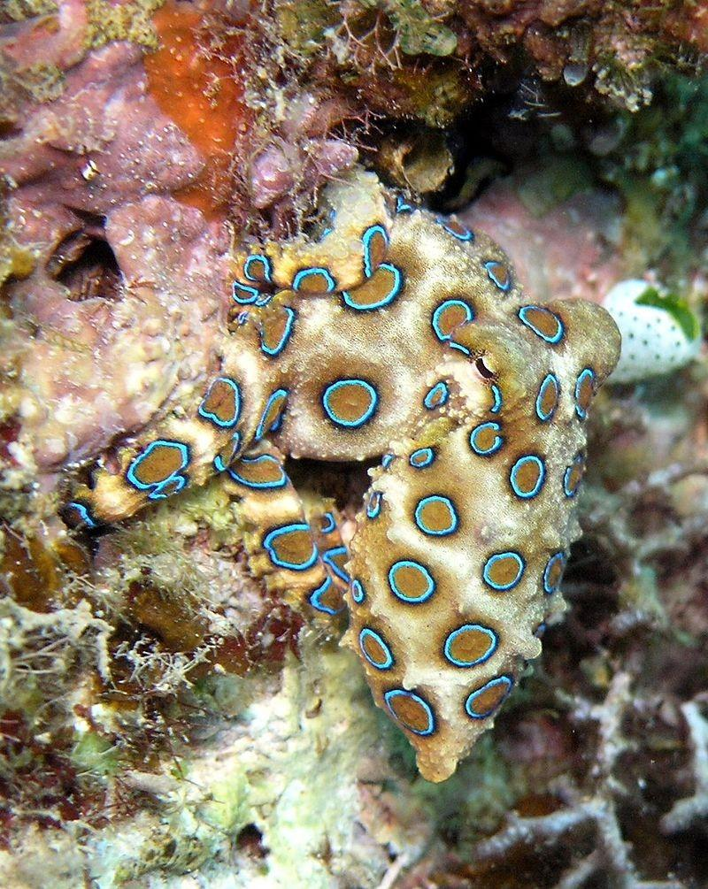 The Blue-ringed octopus is one of the world's most venomous marine animals!
